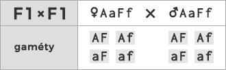 Schéma kríženia ♀ AaFf × ♂ AaFf