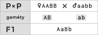 Schéma kríženia ♀ AABB × ♂ aabb