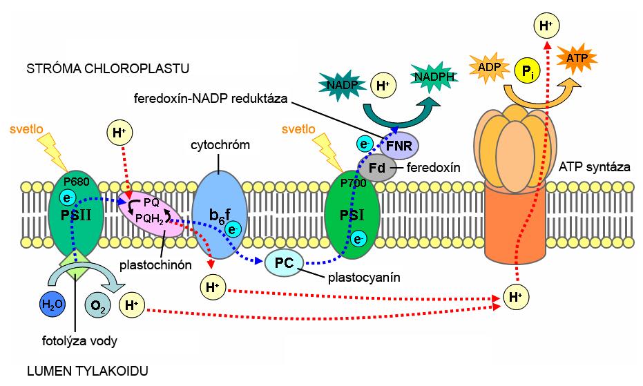 Primárne procesy fotosyntézy