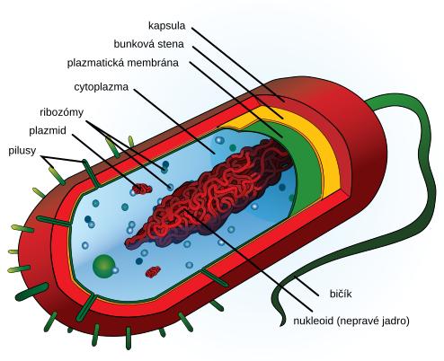 Stavba bakteriálnej bunky