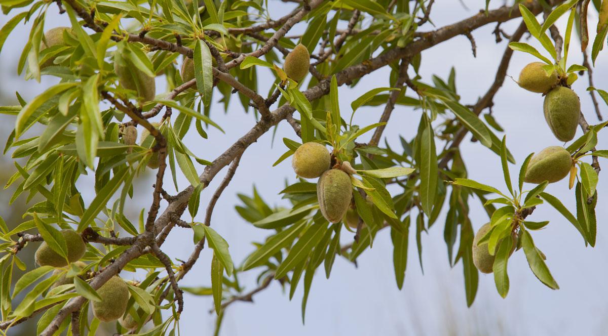 Mandľa obyčajná (Prunus dulcis)