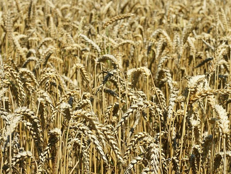 Pšenica letná