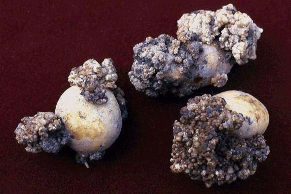 Rakovinovec zemiakový na hľuzách zemiaka