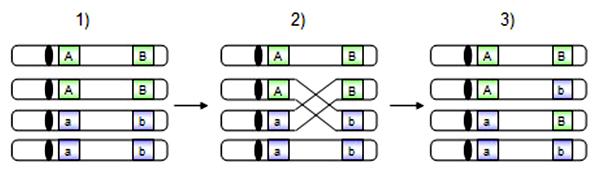 Schéma vzniku homologického crossing-overu