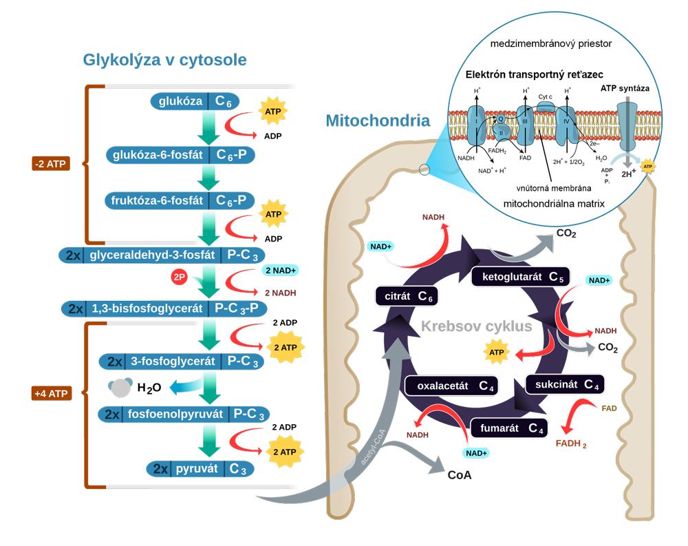 Schéma bunkovej respirácie