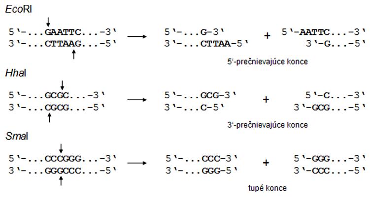 Štiepenie DNA restrikčnými endonukleázami