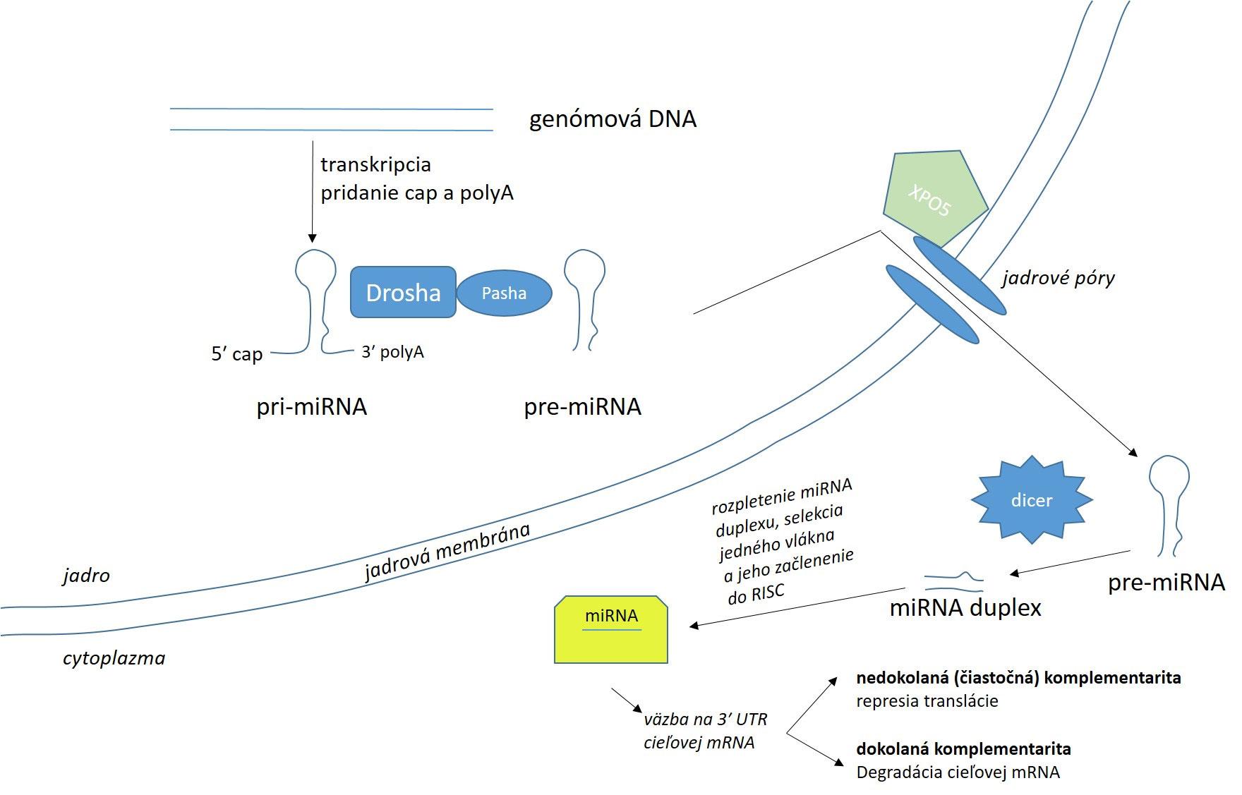 Schéma vzniku a pôsobenia miRNA