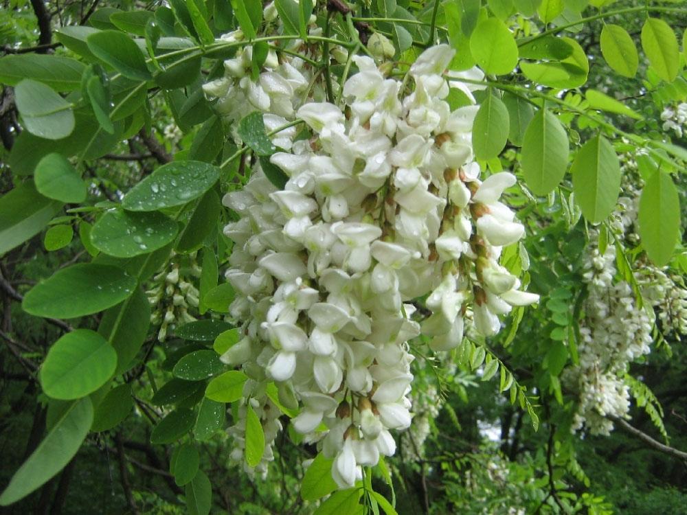 Agát biely (Robinia pseudoacacia)