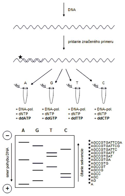 Klasická Sangerova metóda sekvenovania DNA