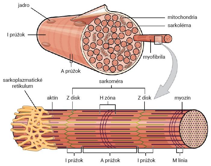 Štruktúra svalového vlákna a detail sarkoméry