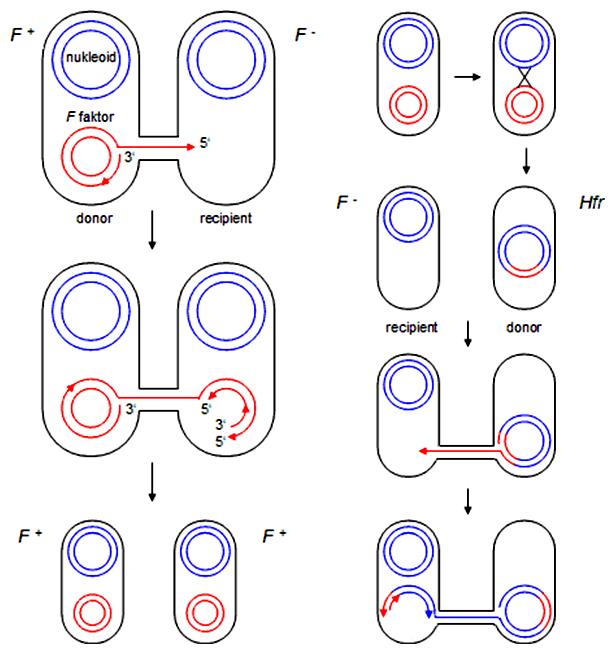 Schéma konjugácie F+ x F- a Hfr + F-