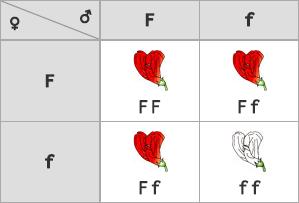 Vznik F2 generácie (fenotyp - 3 : 1, genotyp - 1 : 2 : 1)