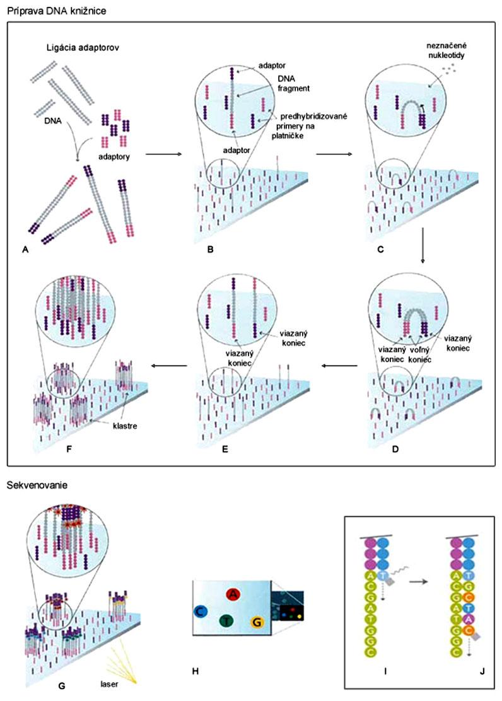 Schéma sekvenovania systémom Illumina