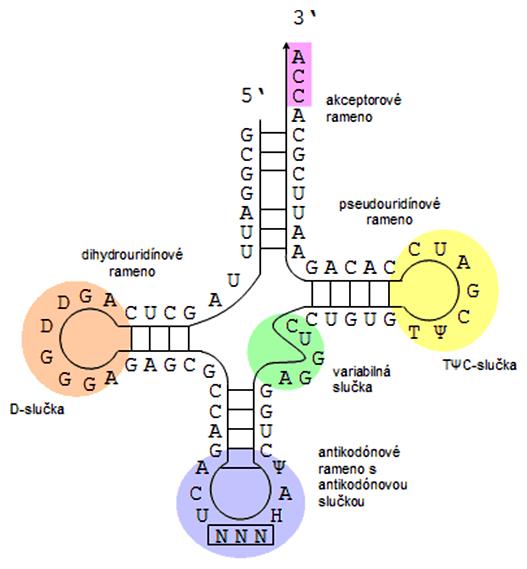 Sekundárna štruktúra tRNA