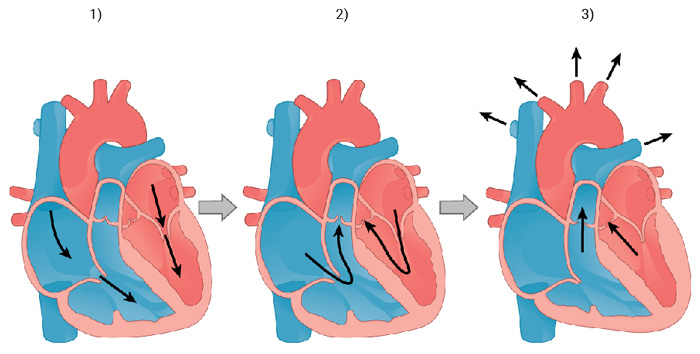 Srdcový cyklus