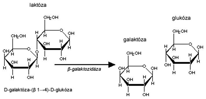 Štiepenie laktózy enzýmom beta-galaktozidázou
