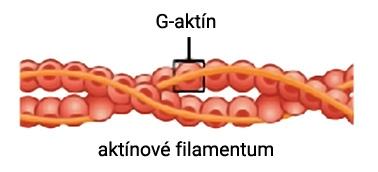 Štruktúra aktínového mikrofilamenta