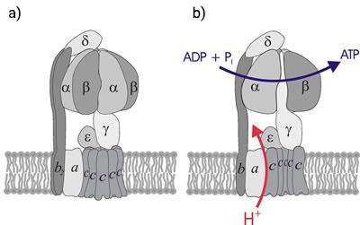 Štruktúra ATP-syntázy (a) pohľad zboku, (b) pohľad dovnútra