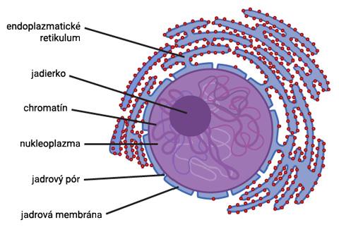 Štruktúra bunkového jadra