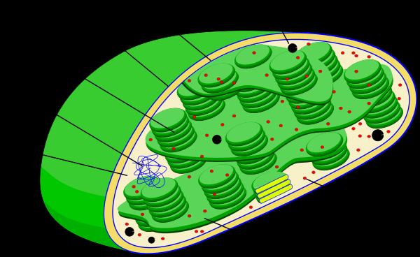 Štruktúra chloroplastu