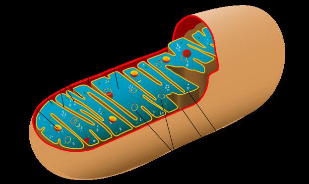 Štruktúra mitochondrie