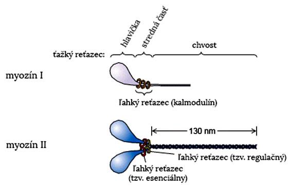 Štruktúra myozínov