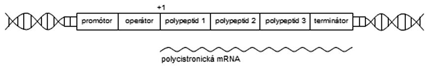 Štruktúra operónovej transkripčnej jednotky