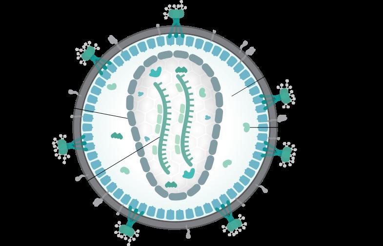Štruktúra viriónu na príklade HIV