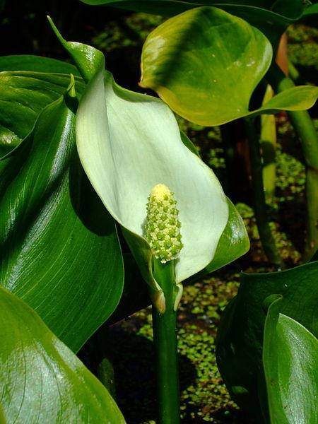 Šúlok (Calla palustris)