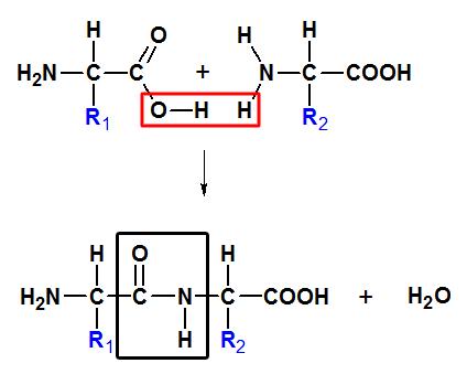Syntéza dipeptidu tvorbou peptidovej väzby