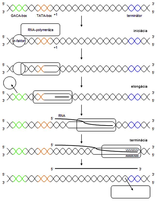 Schéma priebehu transkripcie