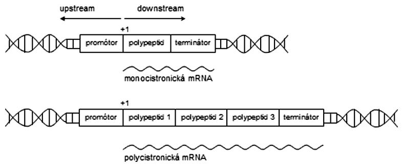Schéma transkripčných jednotiek