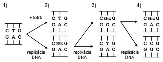Tranzícia AT-GC pomocou 5-brómuracilu