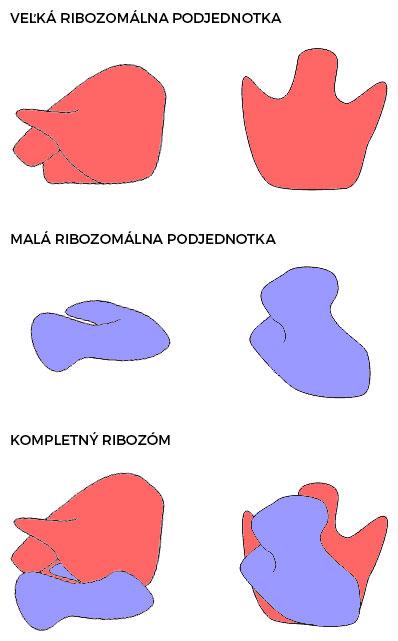 Ultraštruktúra ribozómu (vľavo pohľad zbovu, vpravo pohľad zdola)