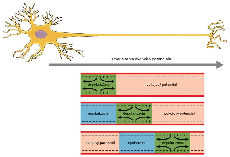 Šírenie akčného potenciálu v nervovom vlákne