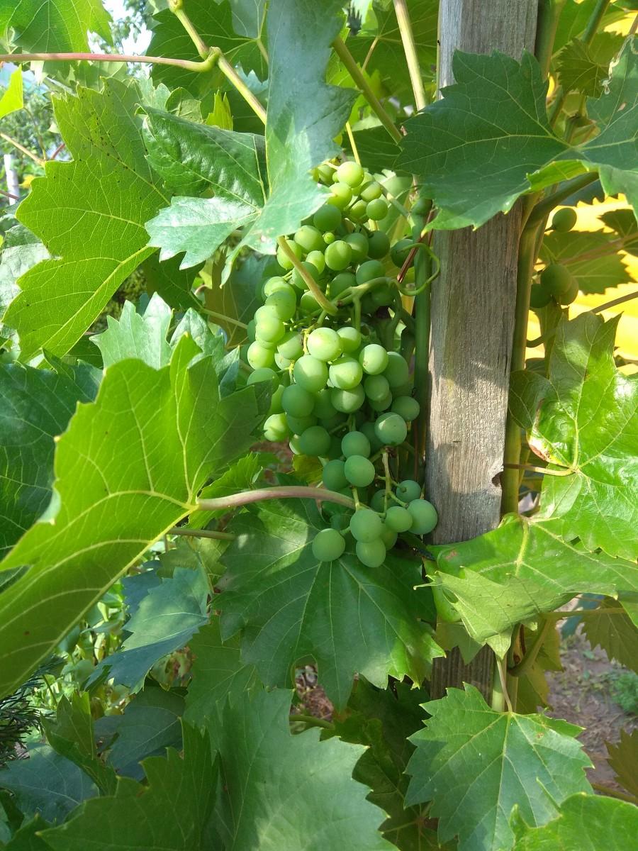 Vinič hroznorodý