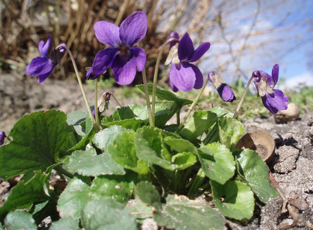 Fialka voňavá (Viola odorata)