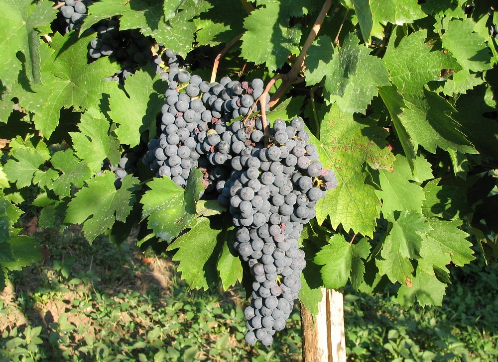 Vinič hroznorodý (Vitis vinifera)