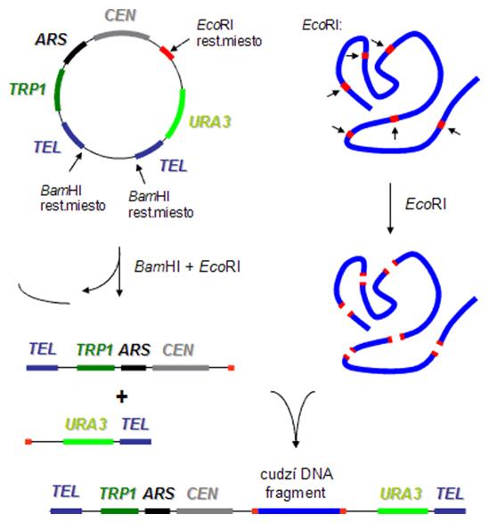 Princíp klonovania do kvasinkového umelého chromozómu