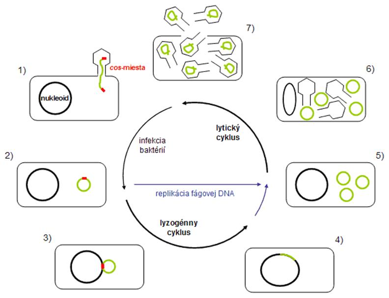 Životný cyklus bakteriofágu lambda